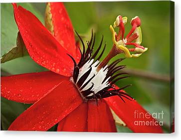 Passion Fruit Canvas Print - Passionate Flower by Heiko Koehrer-Wagner
