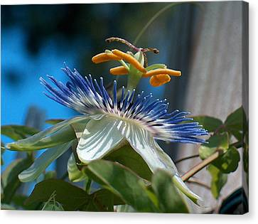 Passionflower Canvas Print by Racquel Morgan