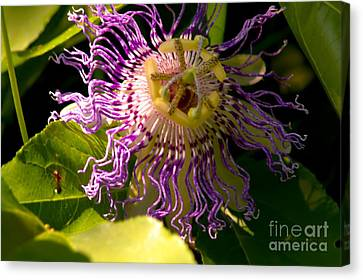 Passionflower Canvas Print by Robyn King
