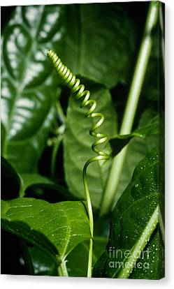 Passionflower Tendrils Canvas Print by John Kaprielian