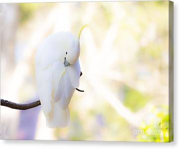 Pastel Cockatoo Canvas Print by Avalon Fine Art Photography