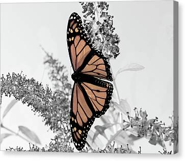 Canvas Print featuring the photograph Pastel Monarch On Black And White by Lara Ellis