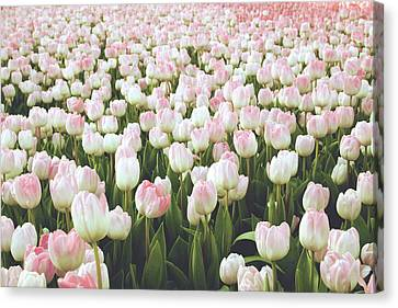 Pastel Pink Tulips- Art By Linda Woods Canvas Print by Linda Woods
