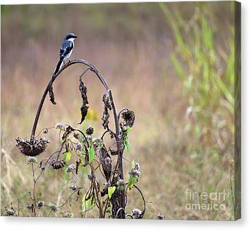 Pastoral Scene Bird On Sunflower Canvas Print by Liz Masoner