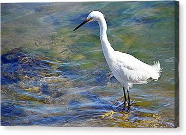 Canvas Print featuring the photograph Patient Egret by AJ Schibig