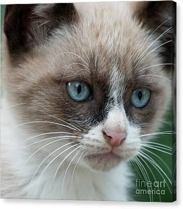 Pauls Little Cat Canvas Print by Heiko Koehrer-Wagner
