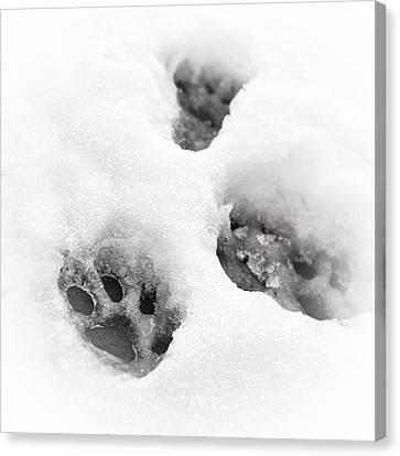 Winter Storm Canvas Print - Paw Print  by Tom Gowanlock