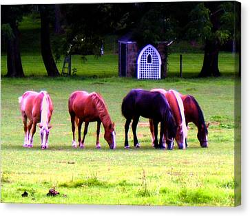 Paxon Clydesdales Canvas Print by Kit Dalton