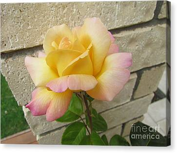 Peace Rose Canvas Print by Joyce Woodhouse