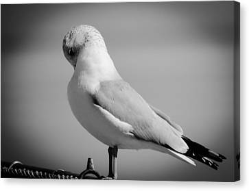 Silent Slumber Seagull Canvas Print