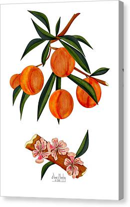 Peach And Peach Blossoms Canvas Print by Anne Norskog