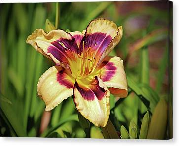 Peach And Wine Daylily Canvas Print