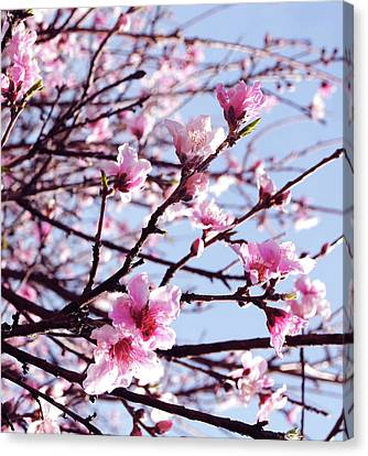 Peach Blossom Blowout Canvas Print by DiDi Higginbotham