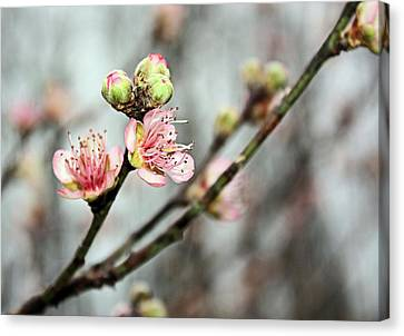 Canvas Print featuring the photograph Peach Blossom by Kristin Elmquist