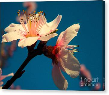 Peach Blossom Canvas Print by Robin Coaker