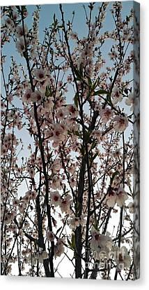 Peach Blossoms Canvas Print by Diamante Lavendar