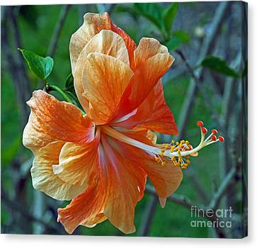 Peachy Hibiscus Canvas Print