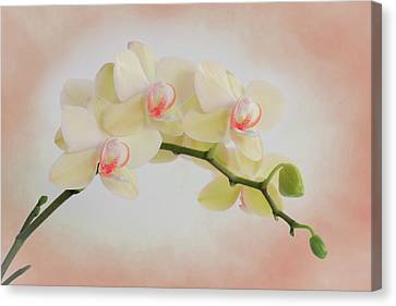 Peach Orchid Spray Canvas Print