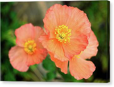 Peach Poppies Canvas Print by Sally Weigand