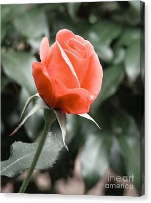 Canvas Print featuring the photograph Peachy Rose by Rand Herron