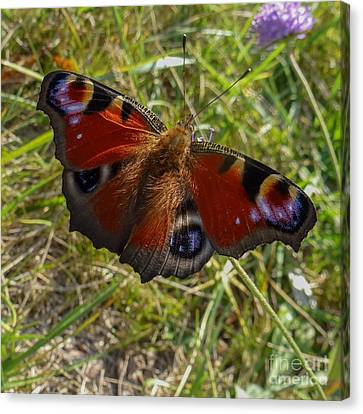 Canvas Print featuring the photograph Peacock Butterfly by Jean Bernard Roussilhe
