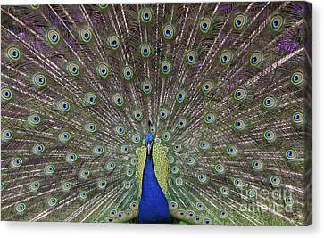 Peacock Display Canvas Print by Tim Gainey