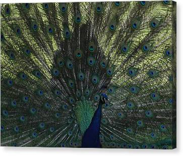 Peacock Eyes Canvas Print by Michelle Miron-Rebbe