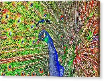 Peacock Fanned Tail Feathers Canvas Print by Tracie Kaska