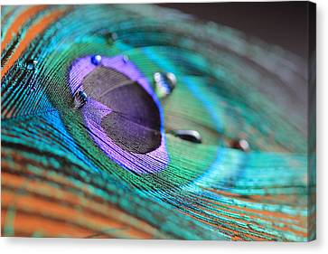 Peacock Feather With Water Drops Canvas Print