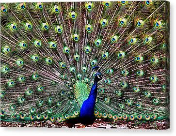 Henry Doorly Zoo Canvas Print - Peacock Feathers by Karen Scovill