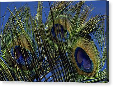 Peacock Feathers Canvas Print by Michael Mogensen