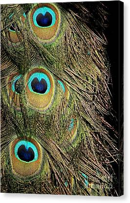 Peacock Feathers Canvas Print by Sabrina L Ryan
