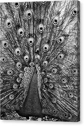 Peacock In Black And White Canvas Print by Steven Ralser
