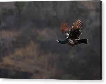 Peacock In Flight Canvas Print