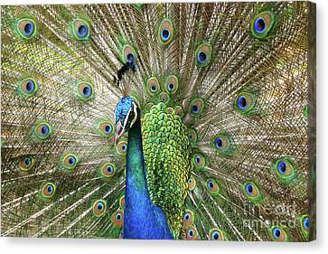 Canvas Print featuring the photograph Peacock Indian Blue by Sharon Mau