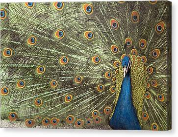 Peacock Canvas Print by Michael Hudson