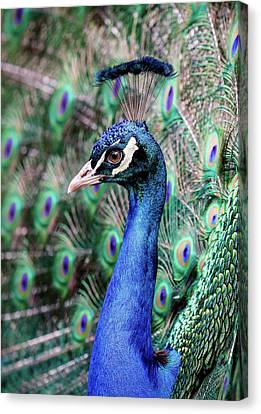 Peacock Profile Canvas Print by Athena Mckinzie