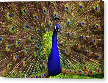 Peacock Showing Breeding Plumage In Jupiter, Florida Canvas Print by Justin Kelefas