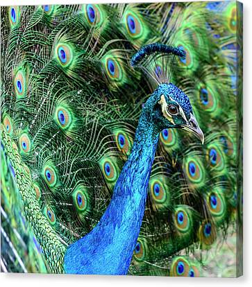 Canvas Print featuring the photograph Peacock by Steven Sparks