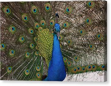 Peacock Strut Canvas Print by Gwen Vann-Horn