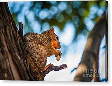 Fox Squirrel Canvas Print - Peanut Time by Robert Bales