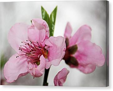 Canvas Print featuring the photograph Plum Blossom by Kristin Elmquist