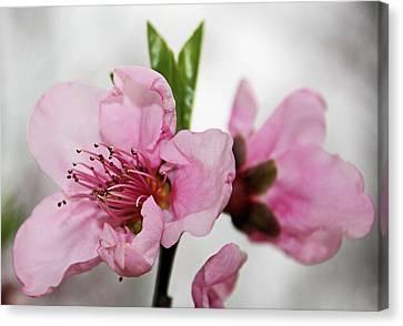 Plum Blossom Canvas Print by Kristin Elmquist