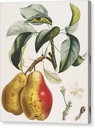 Pears Canvas Print by Pierre Antoine Poiteau