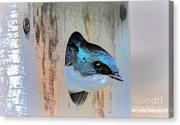 Peek-a-blue Canvas Print by Tami Quigley