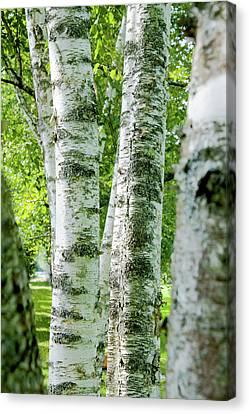 Peek A Boo Birch Canvas Print by Greg Fortier