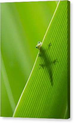 Peek A Boo Gecko Canvas Print by Christina Lihani