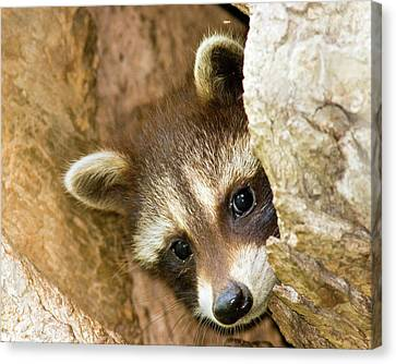 Peek A Boo Canvas Print by Timothy McIntyre
