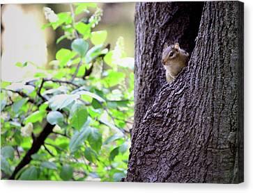 Peeking Eastern Chipmunk Canvas Print by Codee Hart