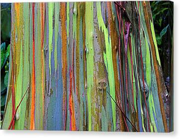 Eucalyptus Canvas Print - Peeling Bark- St Lucia. by Chester Williams